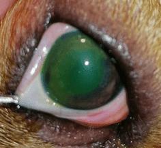 лечить воспаление глаза собака