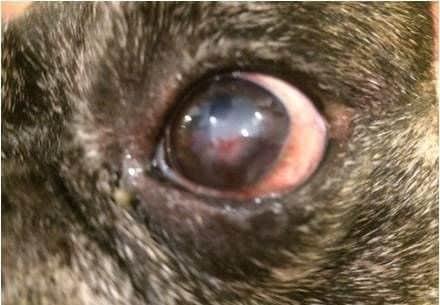 бельмо глаз собака