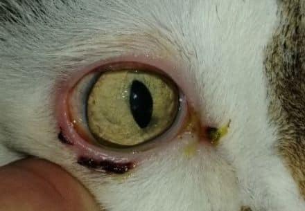 вылечить кошку травма когтём