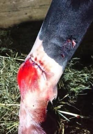 повредила сухожилие лошадь