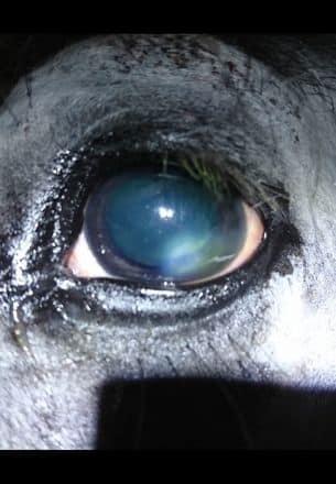регенерация глаза лошадь