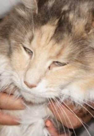 гингивит кошка вылечить