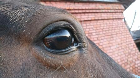 вылечить отек век лошадь